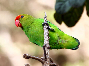 black winged lovebird