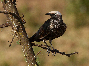 Starling white capped